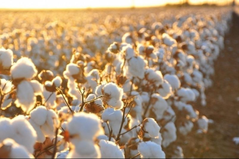 Interesting facts about cotton
